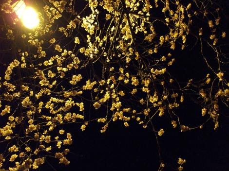 Cherry Blossom Under Lamplight